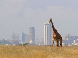 A giraffe with Nairobi City in the background